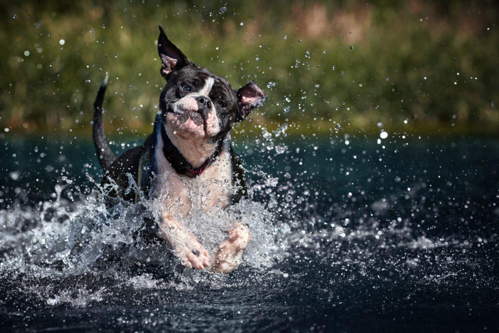 continental bulldog Matilda