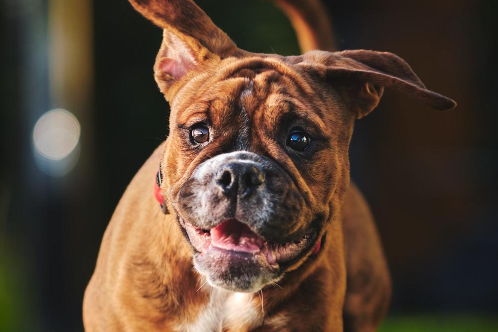 Continental Bulldog female puppy Kaia_1000