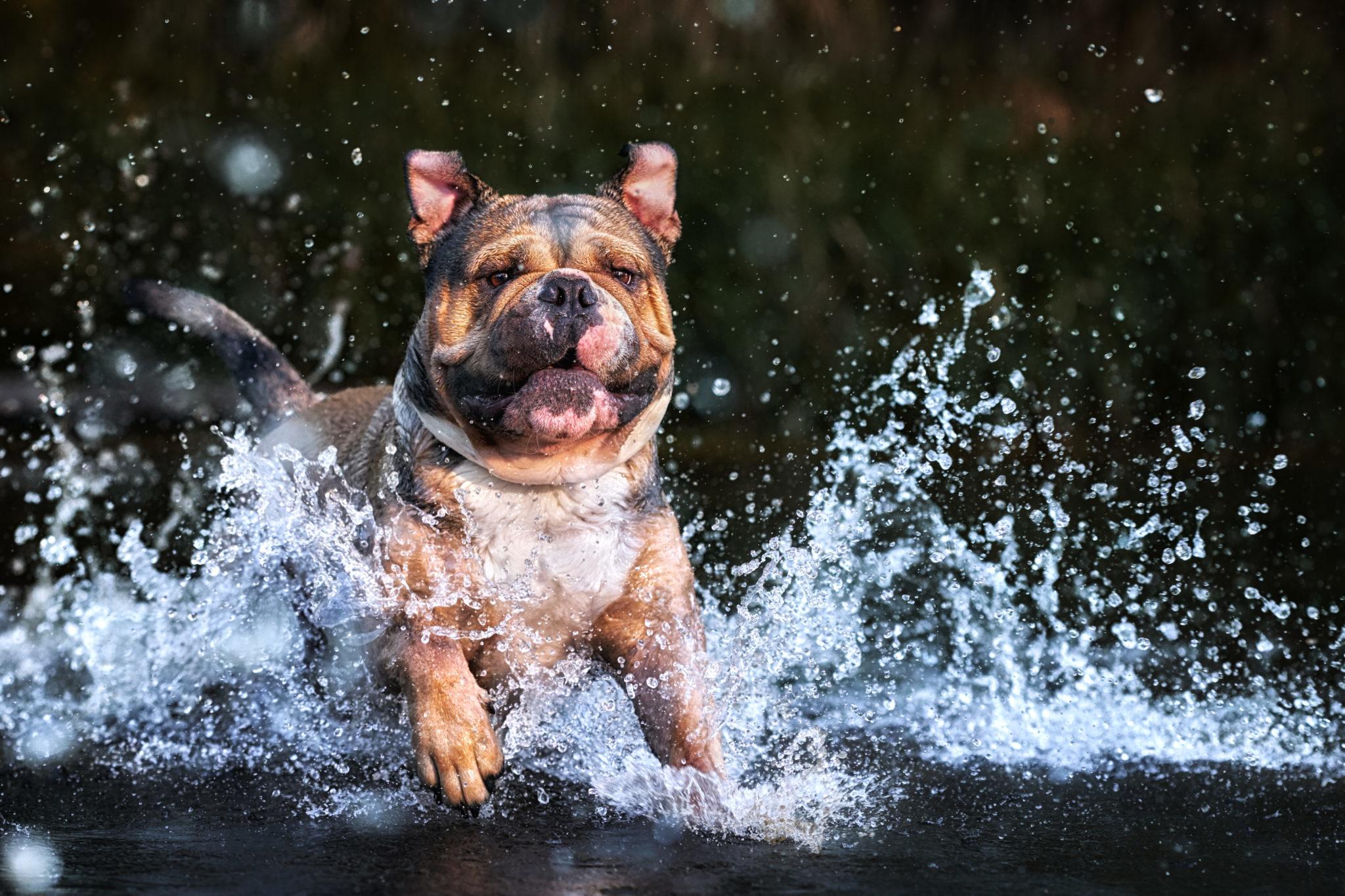 continental bulldog Hugo